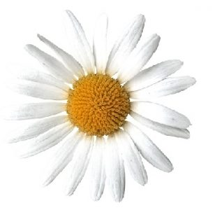 Scattered Daisy