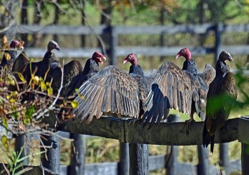 political-vultures