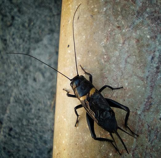 cricket_insect_singing_cricket